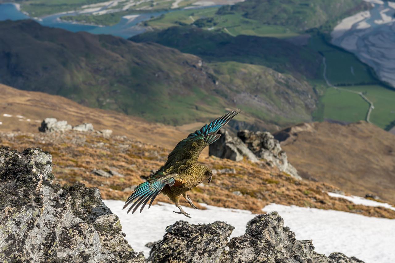 Landing. Kea (Nestor notabilis), Buchanan Peaks