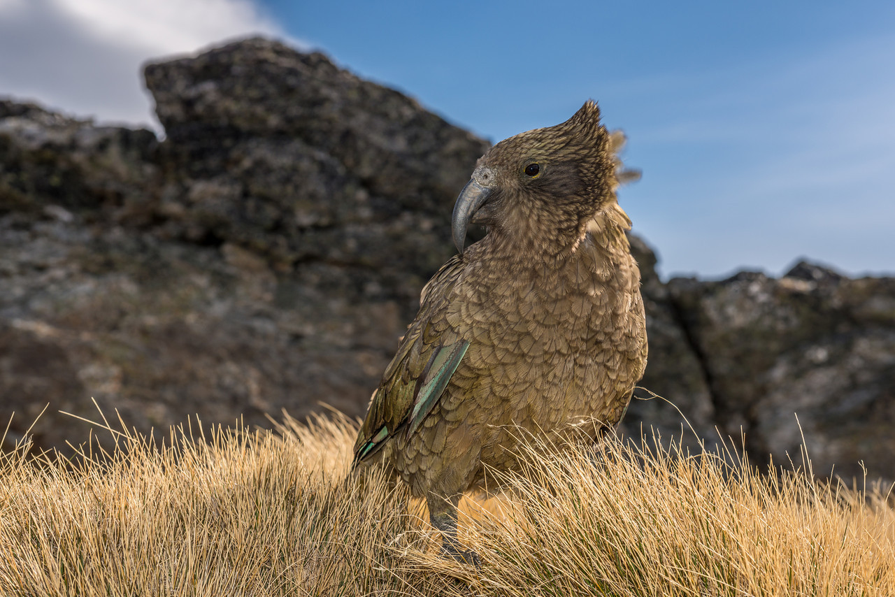Kea (Nestor notabilis), Buchanan Peaks