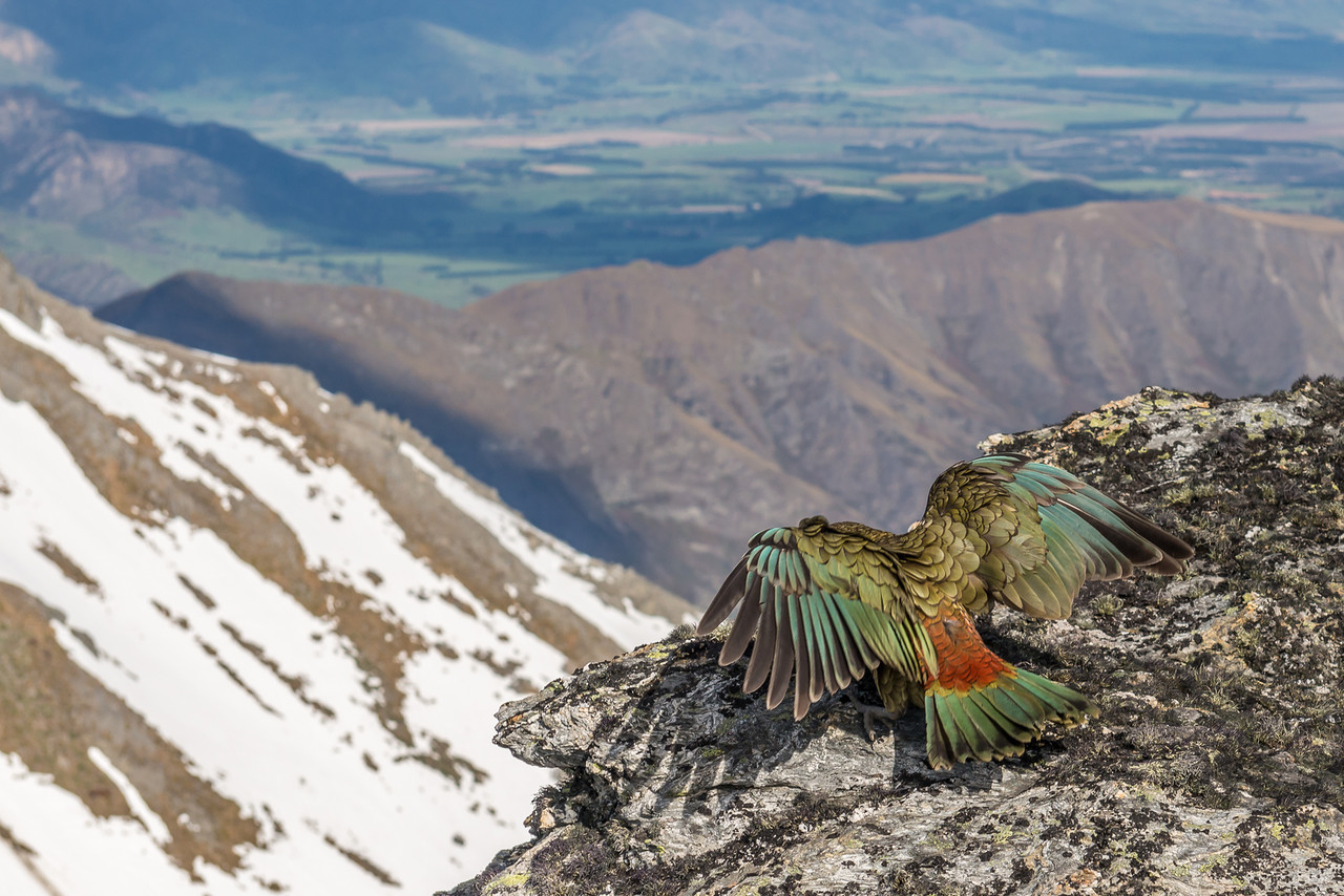 A chicken without a head :-) Kea (Nestor notabilis), Buchanan Peaks