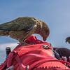 Not too sure my pack appreciated the attention it got! Kea (Nestor notabilis), Buchanan Peaks