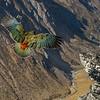 Flight over the Rumbling Burn. Kea (Nestor notabilis), Buchanan Peaks