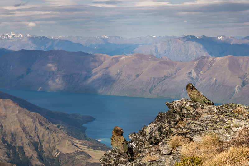 Taking in the views over Lake Wanaka. Kea (Nestor notabilis), Buchanan Peaks