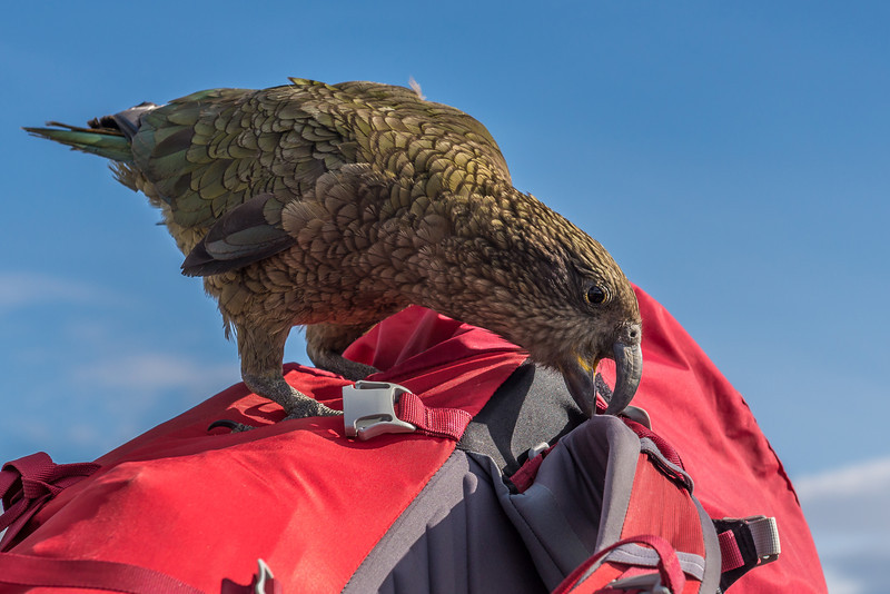 Not too sure my pack appreciated the attention it got! Kea (Nestor notabilis), Buchanan Peaks