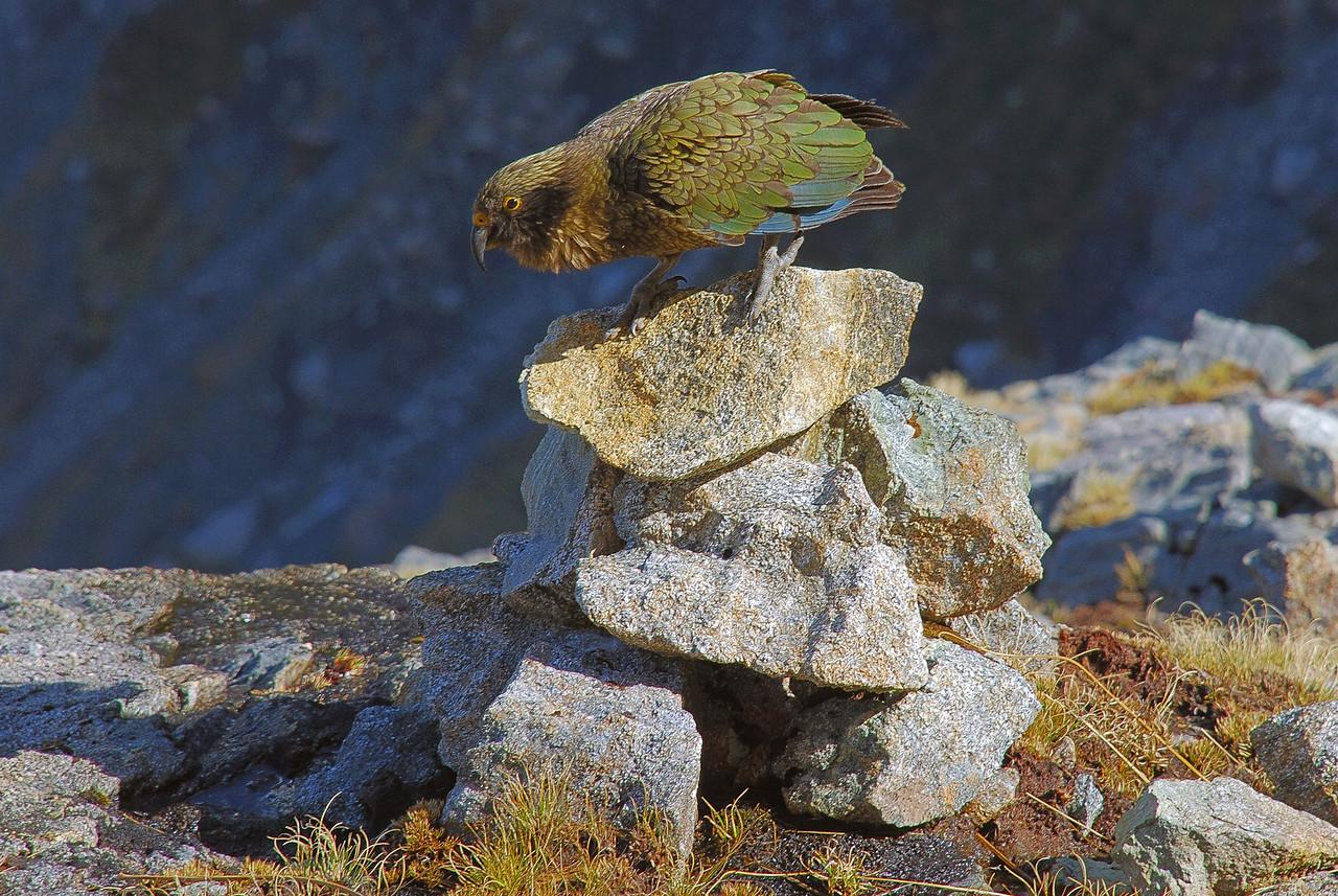 Master cairn builder (kea, Nestor notabilis), Leader Creek