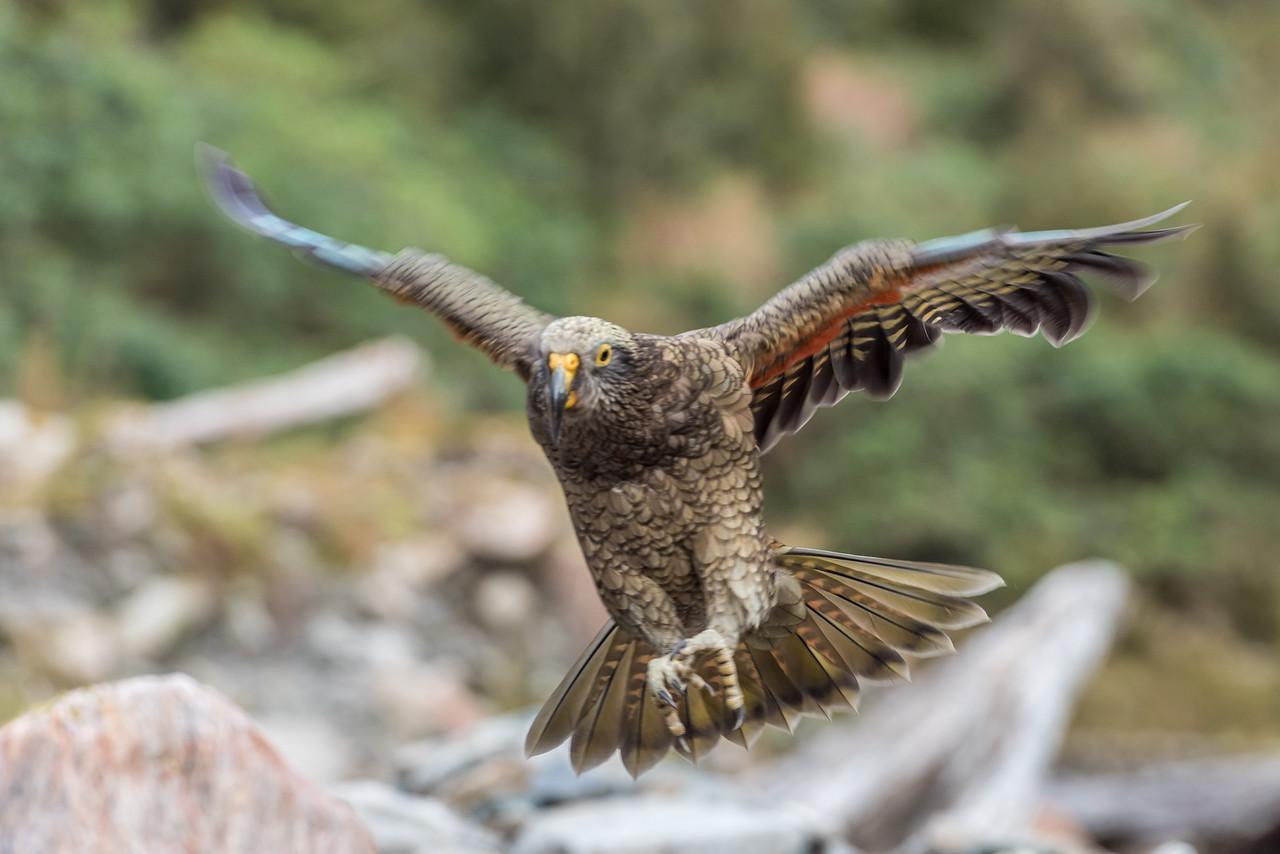Juvenile kea (Nestor notabilis). Robinson Creek, Mataketake Range, South Westland.