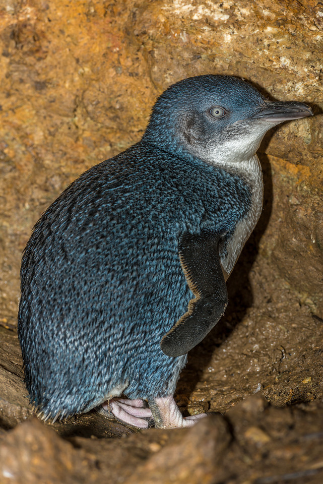Little blue penguin / kororā (Eudyptula minor). Taieri Island / Moturata