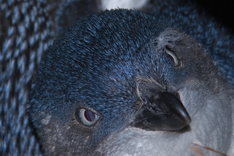 Little blue penguin (Eudyptula minor)