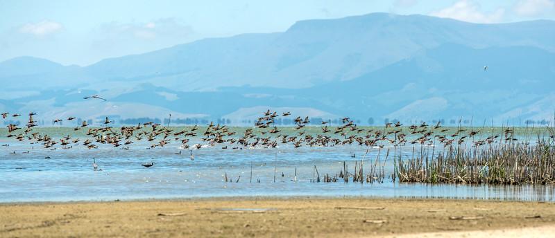 Mallard (Anas platyrhynchos). Lake Ellesmere, Christchurch