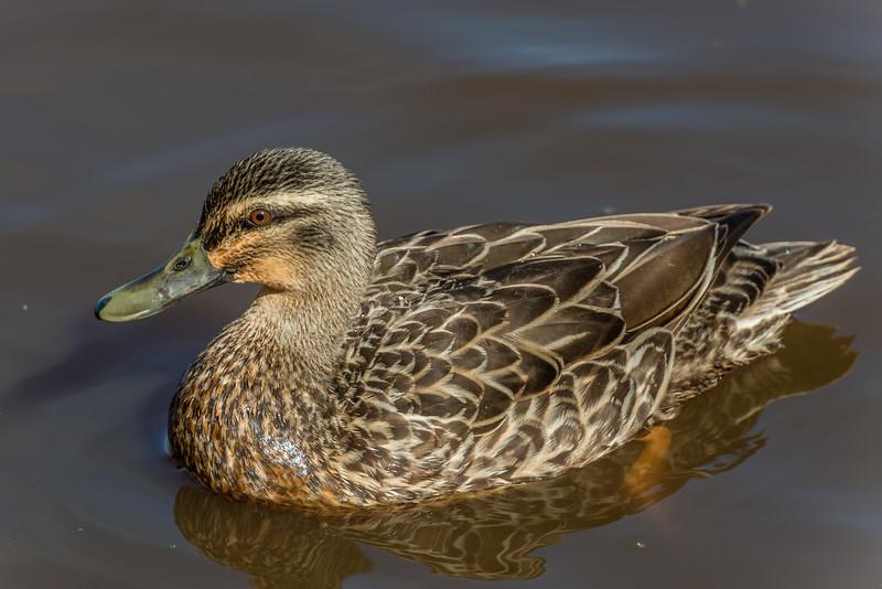 Mallard (Anas platyrhynchos). Travis Wetland, Christchurch.
