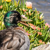 Mallard (Anas platyrhynchos). MacAndrew Bay, Dunedin