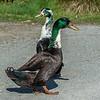 Manky mallard (hybrid mallard x feral goose?). Travis Wetland, Christchurch.