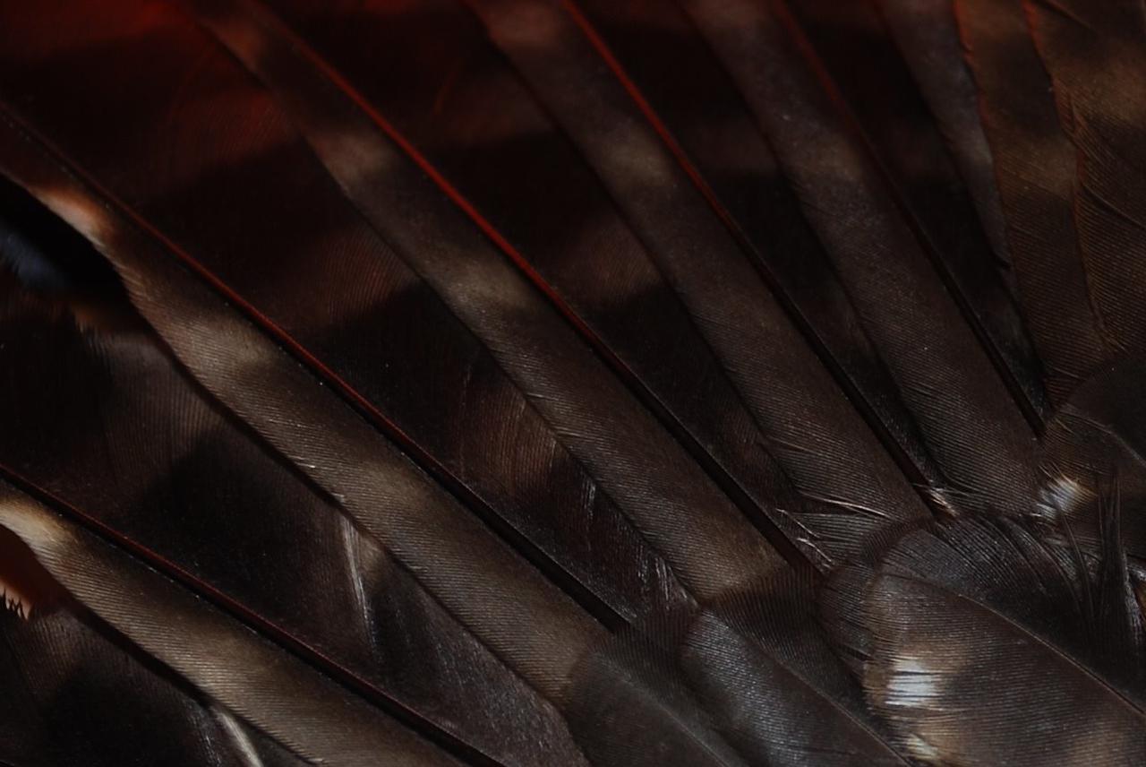 Morepork (Ninox novaeseelandiae)