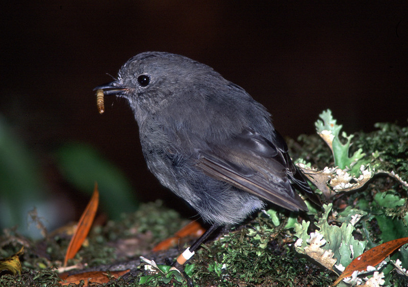 Stewart Island robin (Petroica australis rakiura), Ulva Island