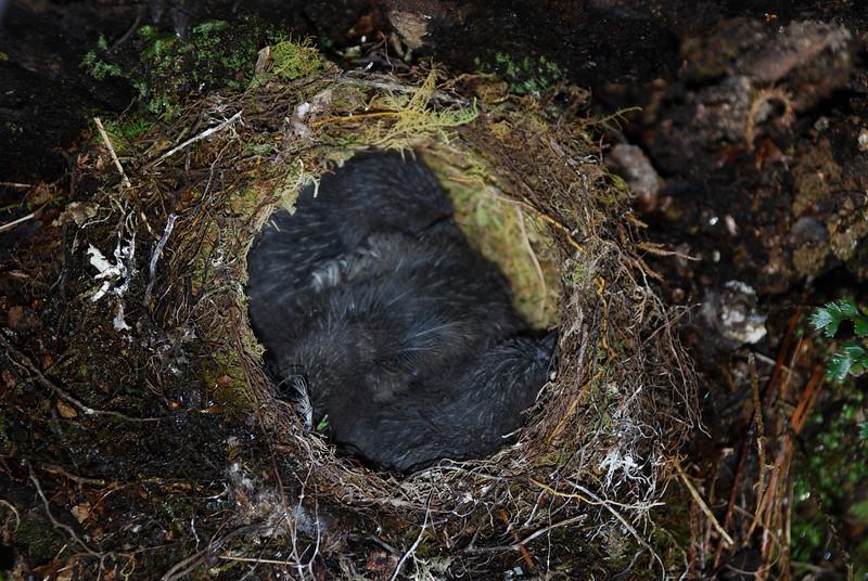Robin nest, Eglinton River