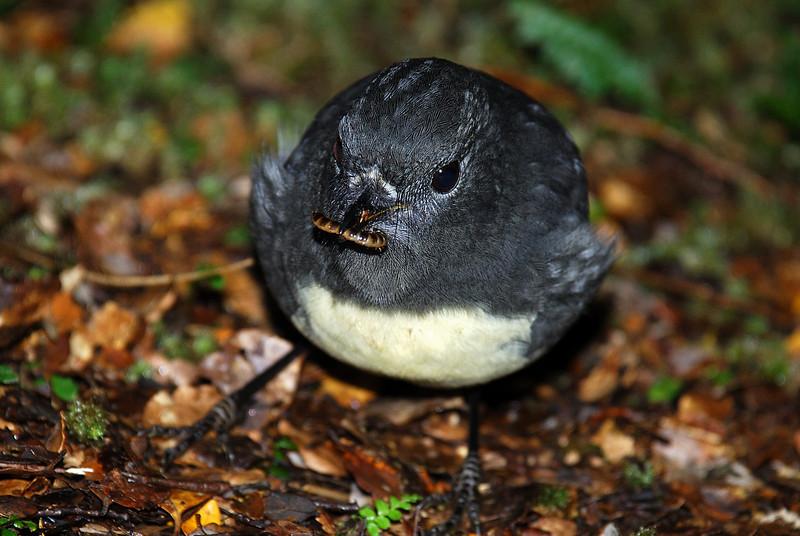 South Island robin (Petroica australis), Beans Burn