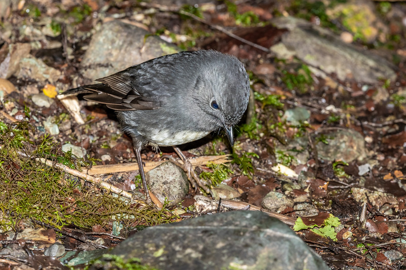 South Island robin (Petroica australis australis). Little Homer Saddle, Hollyford Track, Fiordland National Park.