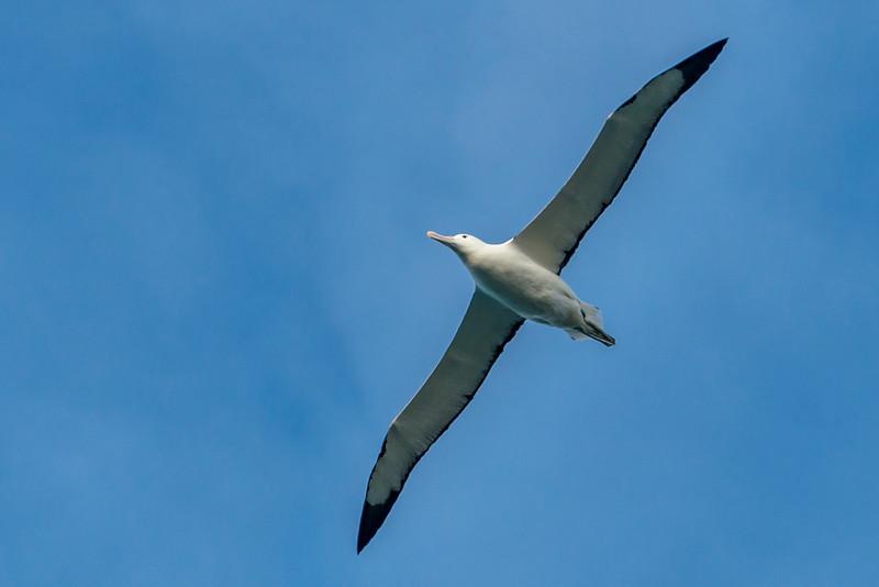 Northern royal albatross / toroa (Diomedea sanfordi). Taiaroa Head