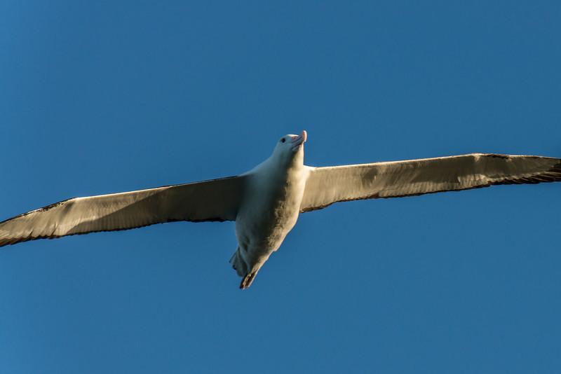 Northern royal albatross / toroa (Diomedea sanfordi). Taiaroa Head, Otago Peninsula