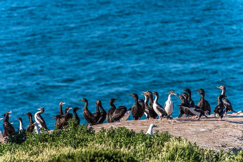 Otago shag / kawau (Leucocarbo chalconotus). Heyward Point, Dunedin.