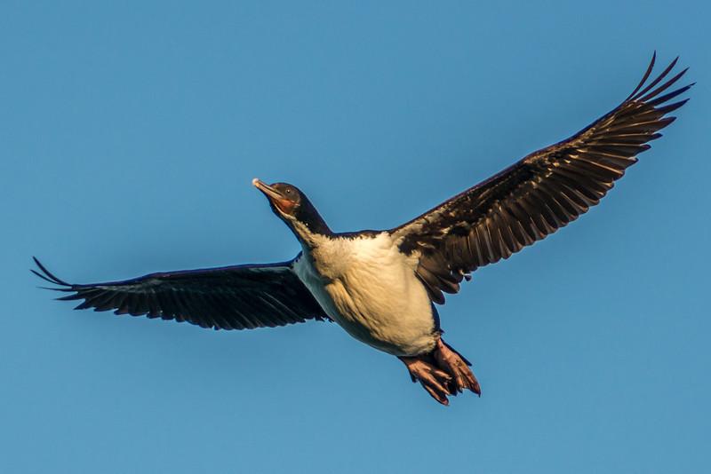 Otago shag / kawau (Leucocarbo chalconotus). Taiaroa Head, Otago Peninsula
