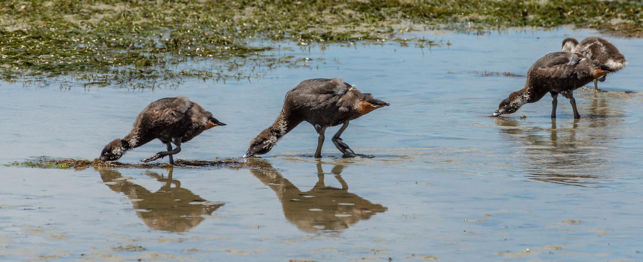 Paradise shelduck / pūtangitangi (Tadorna variegata) juveniles feeding in the tidal flats. Hoopers Inlet, Otago Peninsula