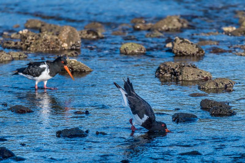 South Island pied oystercatcher / tōrea (Haematopus finschi). Rototai Reserve, Takaka.