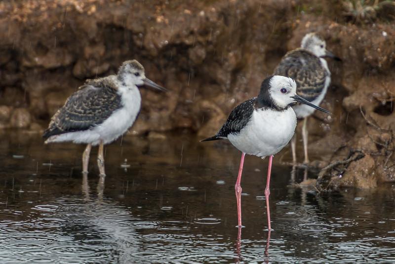 Pied stilt / poaka (Himantopus himantopus). Hoopers Inlet, Otago Peninsula
