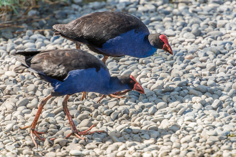 Purple swamphen / pūkeko (Porphyrio melanotus). Travis Wetland, Christchurch.