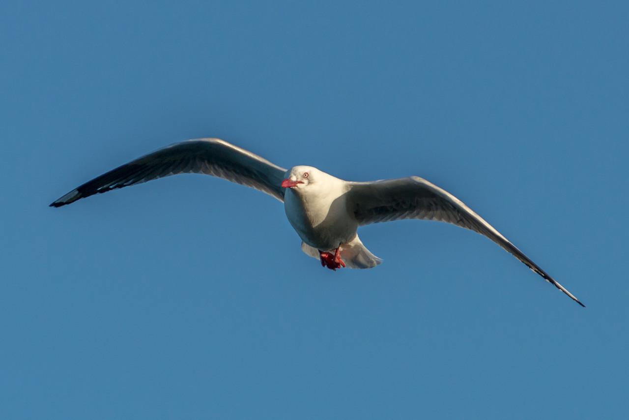Red-billed gull / tarāpunga (Larus novaehollandiae). Taiaroa Head, Otago Peninsula
