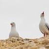 Red-billed gull / tarāpunga (Larus novaehollandiae). Heyward Point, Dunedin.