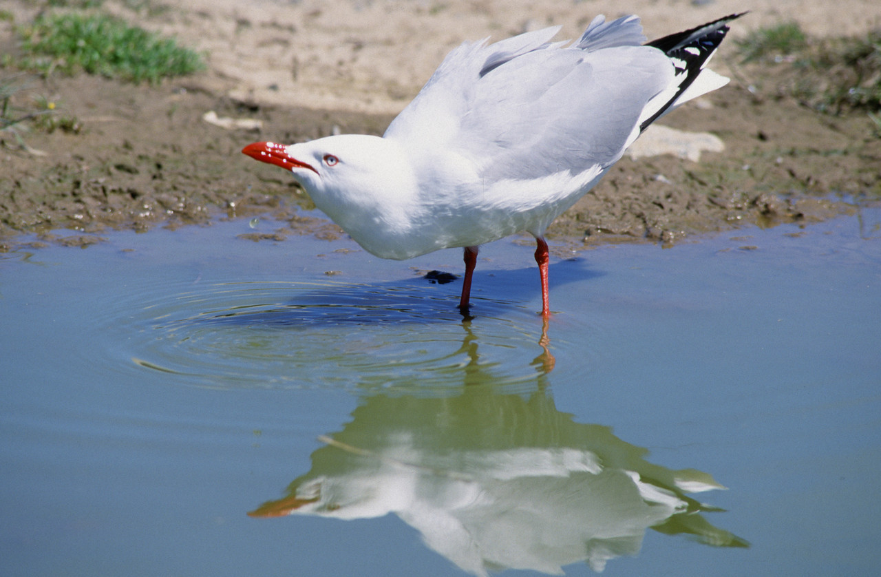 Red-billed gull (Larus novaehollandiae), Taiaroa Head