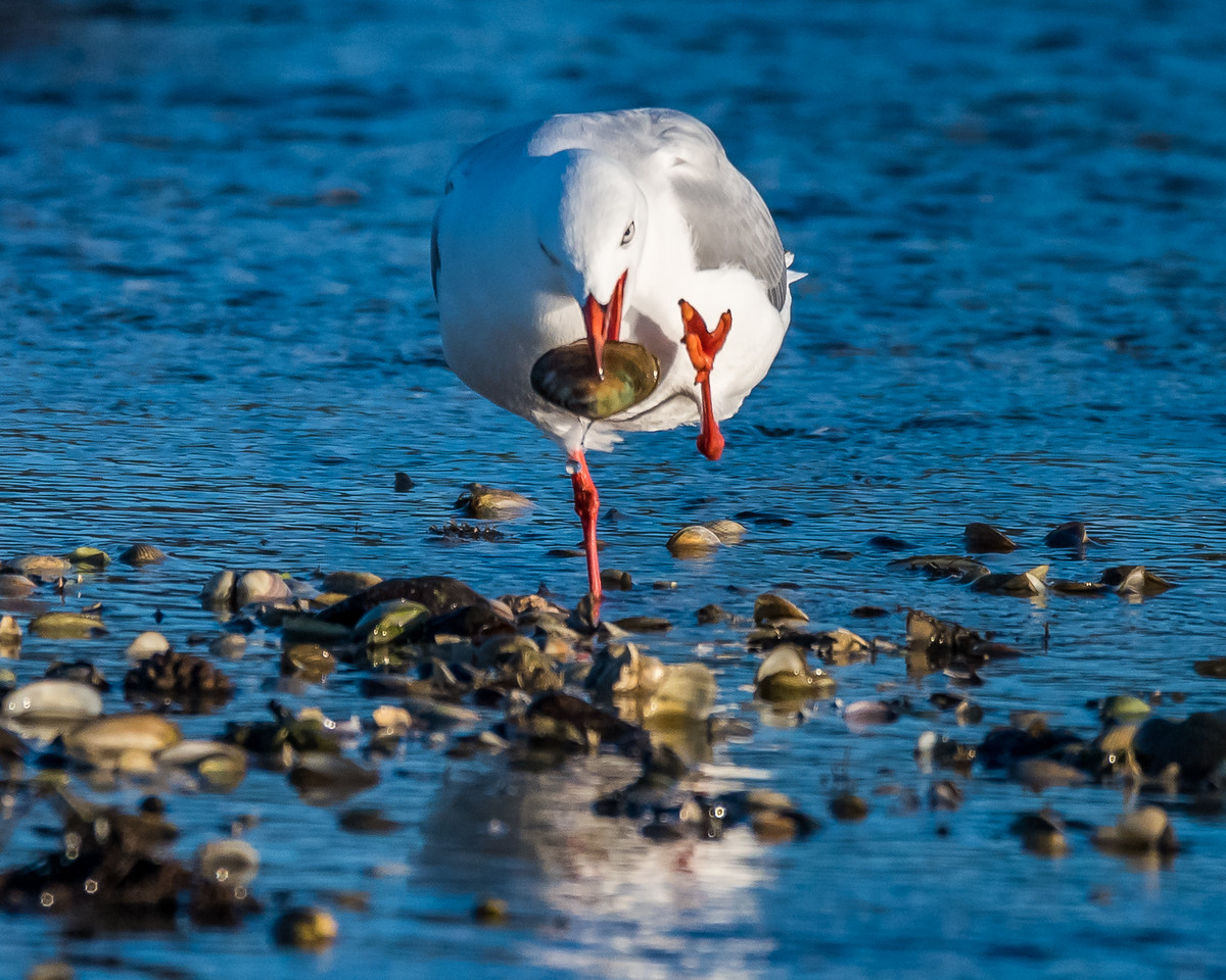 Red-billed gull / tarāpunga (Larus novaehollandiae) feeding on Paphies australis. Rototai Reserve, Takaka.