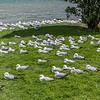 Red-billed gull / tarāpunga (Larus novaehollandiae). MacAndrew Bay, Otago Peninsula
