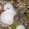 Red-billed gull / tarāpunga (Larus novaehollandiae). Taiaroa Head.