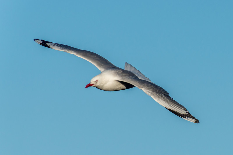Red-billed gull / tarāpunga (Larus novaehollandiae). Taiaroa Head, Otago Peninsula