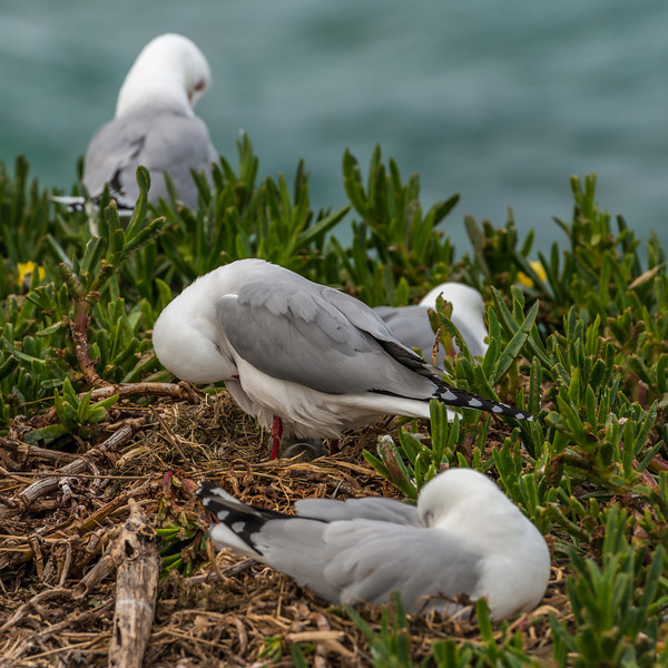 Red-billed gull / tarāpunga (Larus novaehollandiae). Taiaroa Head.