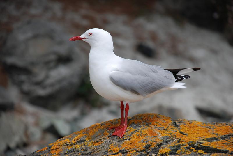 Red-billed gull (Larus novaehollandiae)