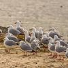 Red-billed gull / tarāpunga (Larus novaehollandiae), Aramoana mole