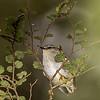 Rifleman / tītipounamu (Acanthisitta chloris). McLennan Stream, Catlins Forest.