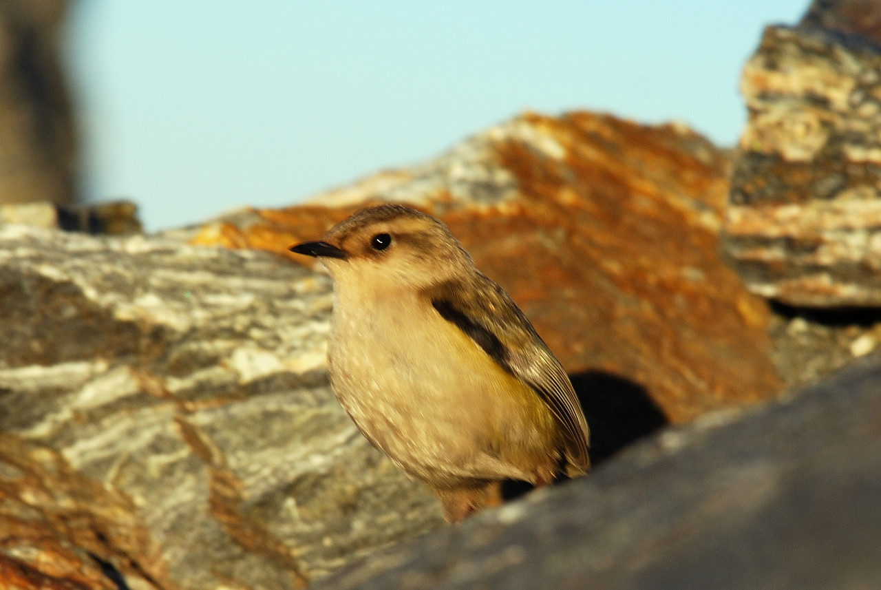 Rock wren (Xenicus gilviventris) on Mt Ionia's summit ridge. He popped in front of me just as I was about to anchor myself at the end of a pitch - then beat us to the summit!