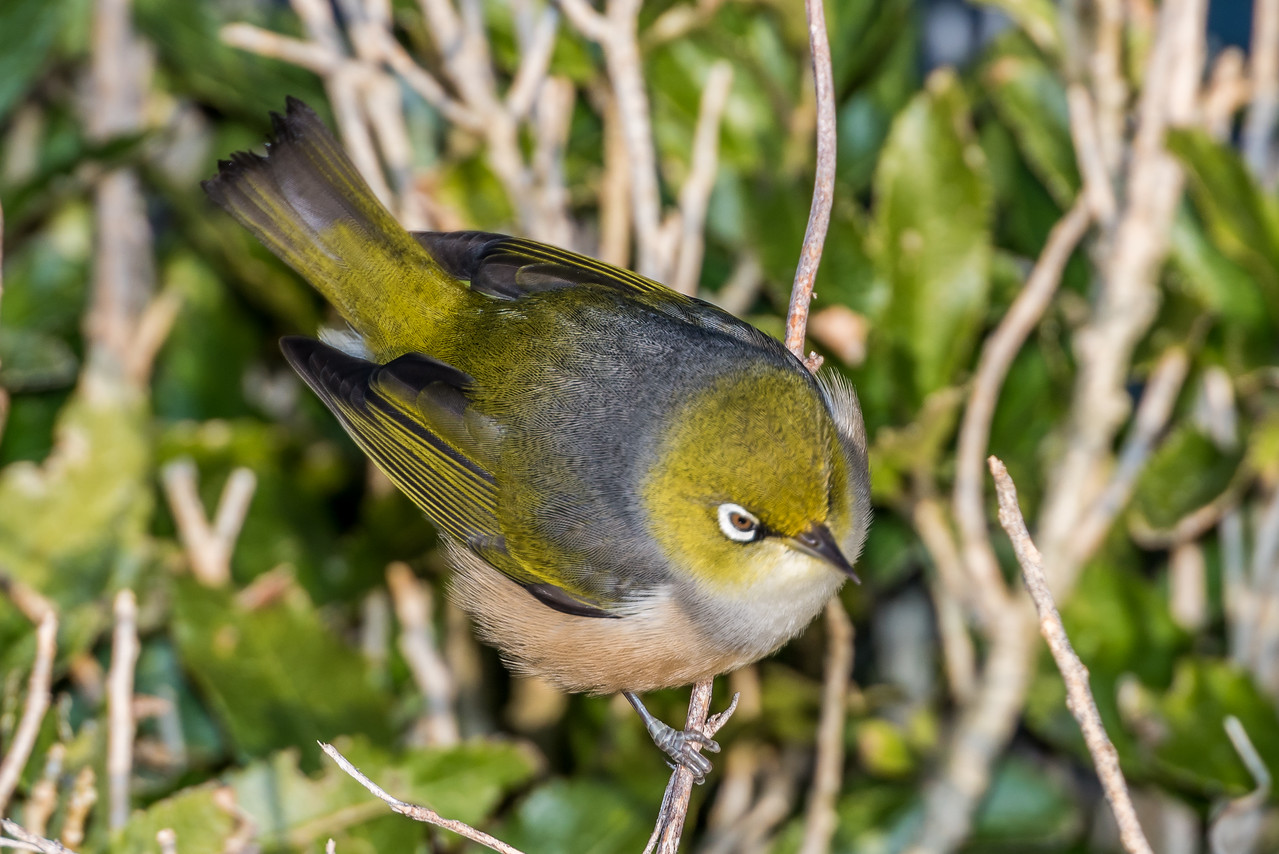 Silvereye (Zosterops lateralis). Allans Beach, Otago Peninsula.