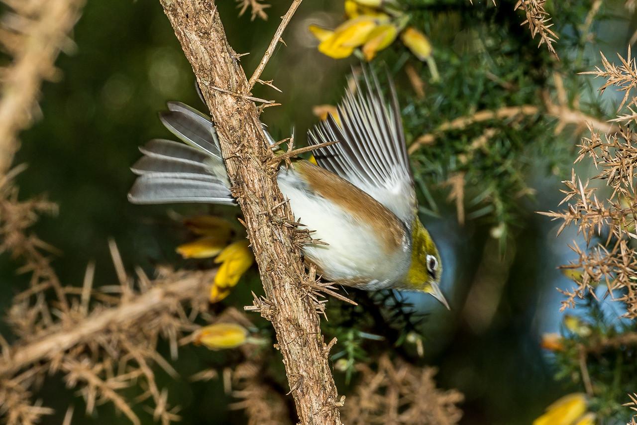 Silvereye / tauhou (Zosterops lateralis). Wetland Walk, Awaroa Bay, Abel Tasman National Park.