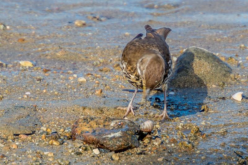 Song thrush (Turdus philomelos) feeding on mud-flat snails (Amphibola crenata). Marahau River estuary, Abel Tasman National Park.