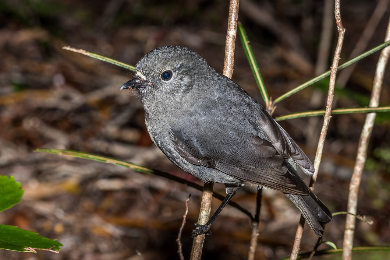 South Island robin or toutouwai (Petroica australis australis). Three Pointer, Heaphy Track, Kahurangi National Park.