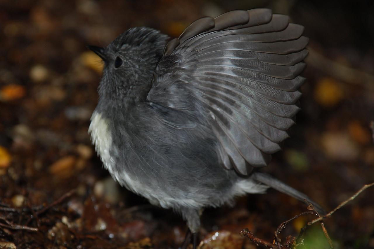 South Island robin (Petroica australis australis), Eglinton River