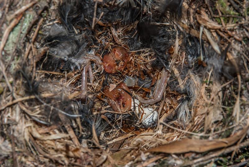 After predation, probably by a rat. Robin Nest SS10, October 2010. Silverstream, Dunedin