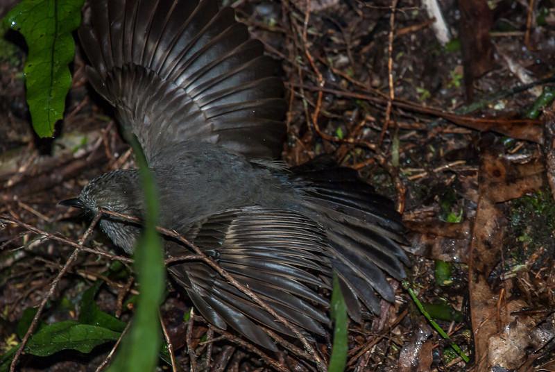 An adult's broken wing display. Robin Nest SS10, October 2010. Silverstream, Dunedin.