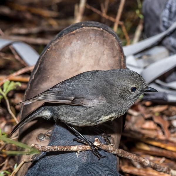 South Island robin or toutouwai (Petroica australis australis). Three Pointer, Heaphy Track, Kahurangi National Park.
