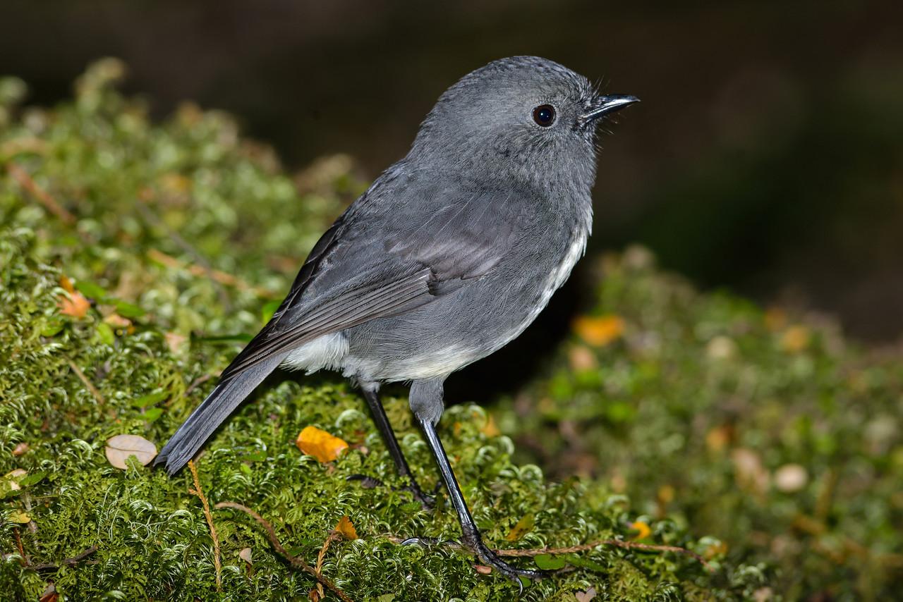 South Island robin or toutouwai (Petroica australis australis), Lake Monowai