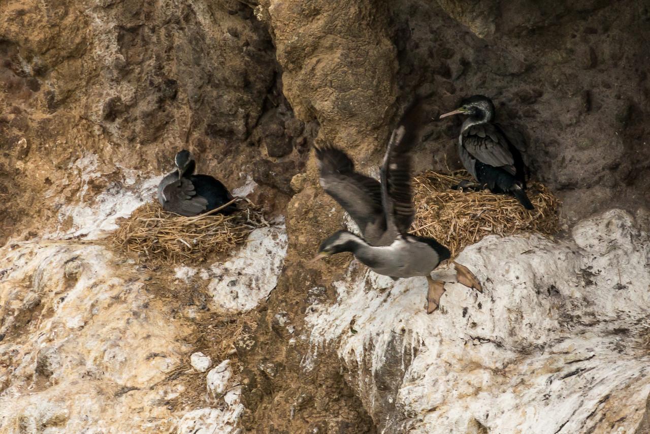 Nesting spotted shags / pārekareka (Stictocarbo punctatus). Taiaroa Head